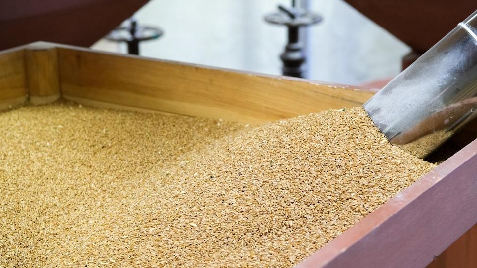 Des grains de blé.