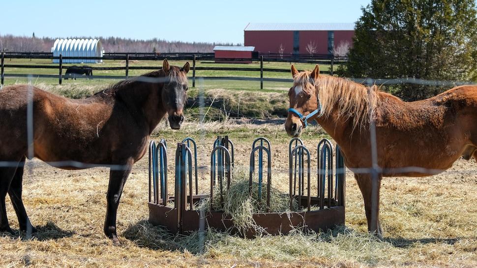 Deux chevaux mangent du foin dans une mangeoire.