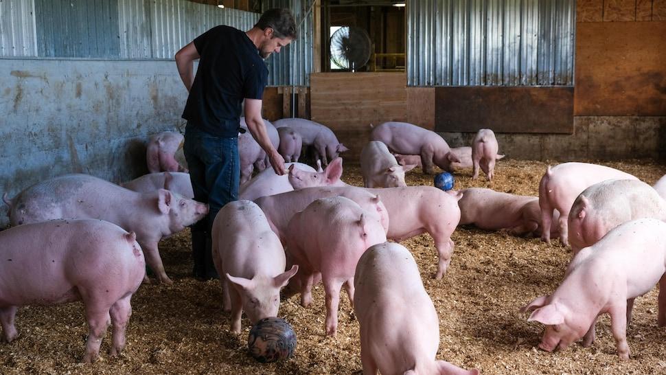 Alexandre offre des morceaux de courge aux cochons.