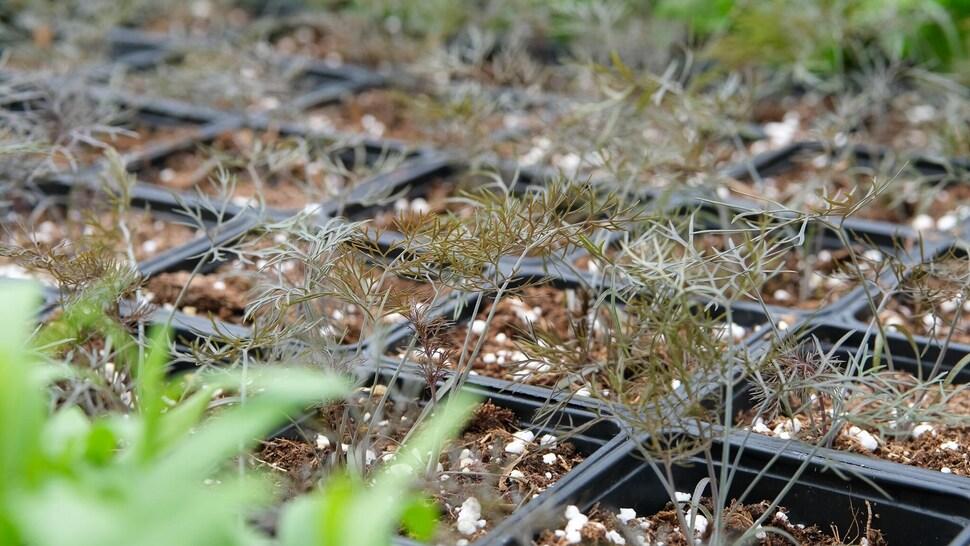 Du fenouil bronze dans un pot de terre.