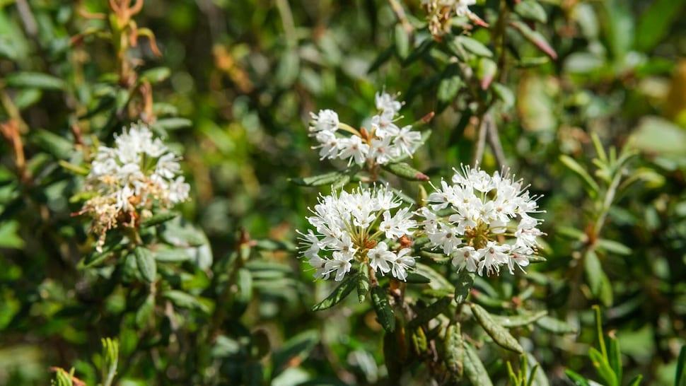 Des fleurs de thé du Labrador.