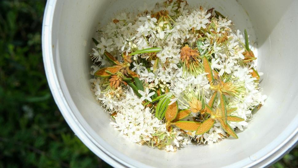 Des fleurs de thé du Labrador dans une chaudière blanche.