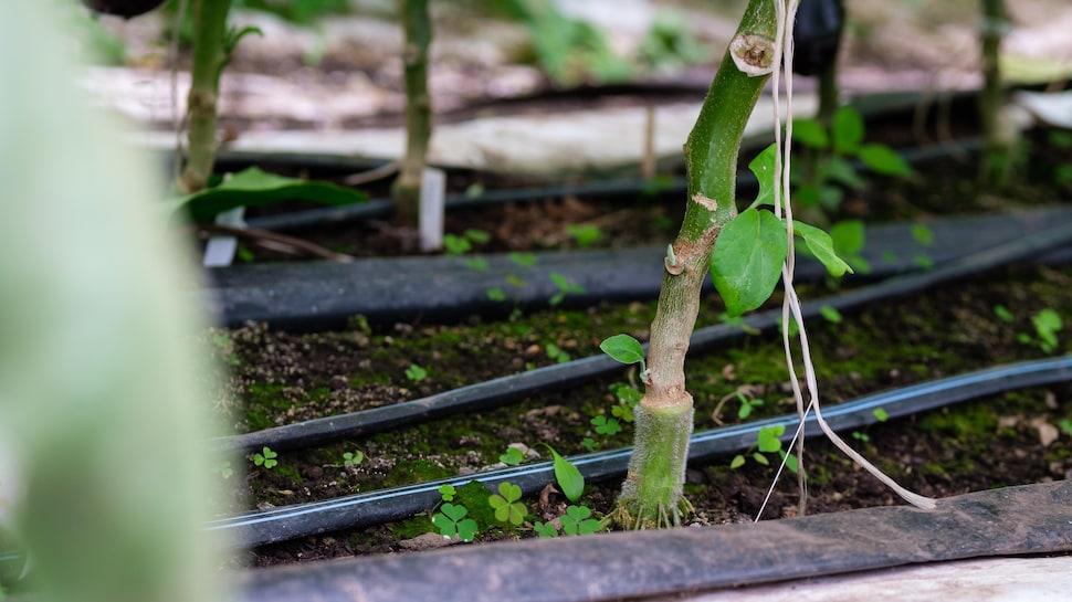Un bas de plant d'aubergine.