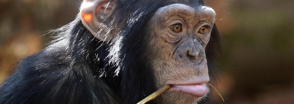 Un jeune chimpanzé
