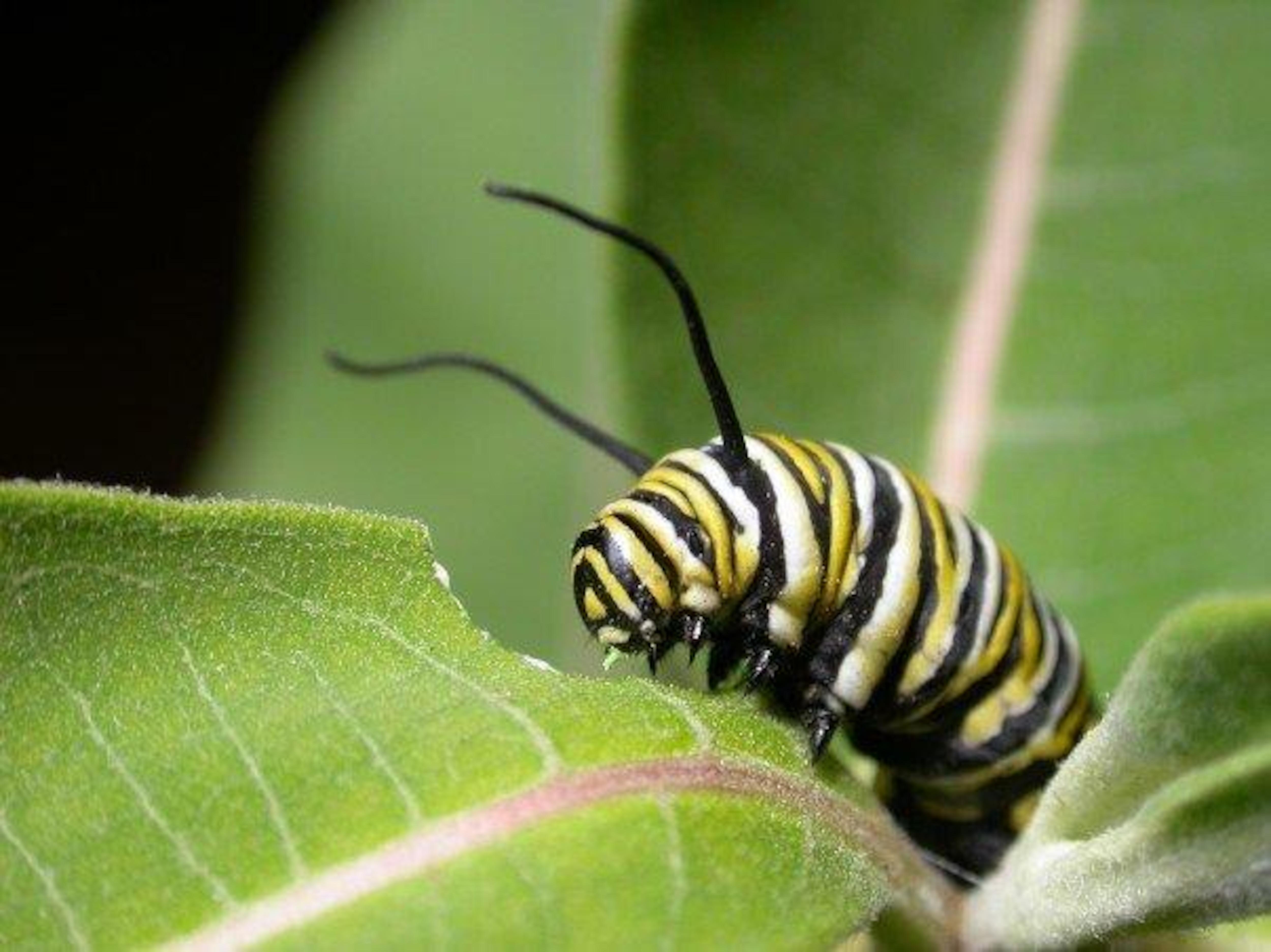 Une chenille d'un papillon monarque.