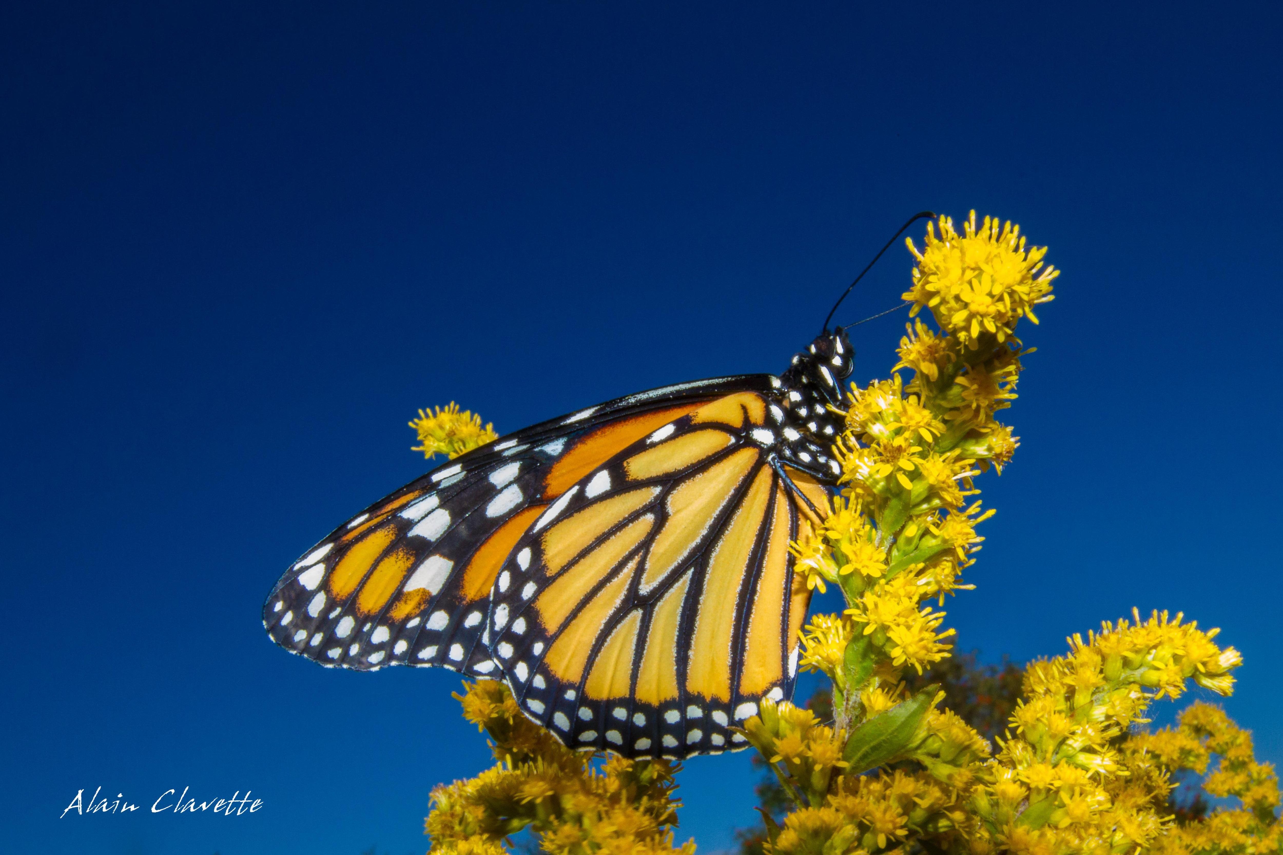 Un papillon monarque sur une tige en fleur.