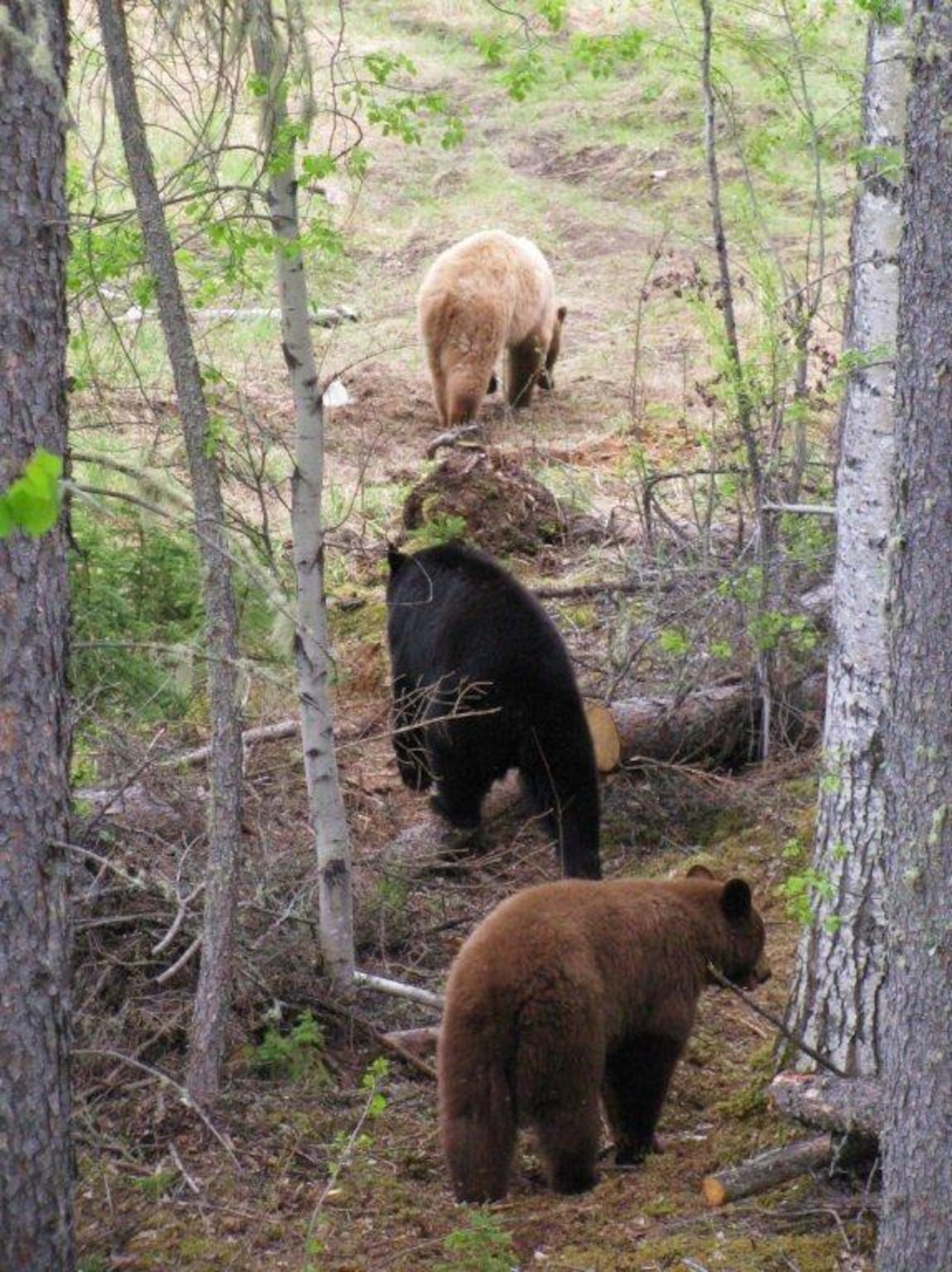 Des ours, un noir et un brun, en promenade dans une forêt boréale. Il y a des arbres coupés par terre sur de l'herbe sèche.