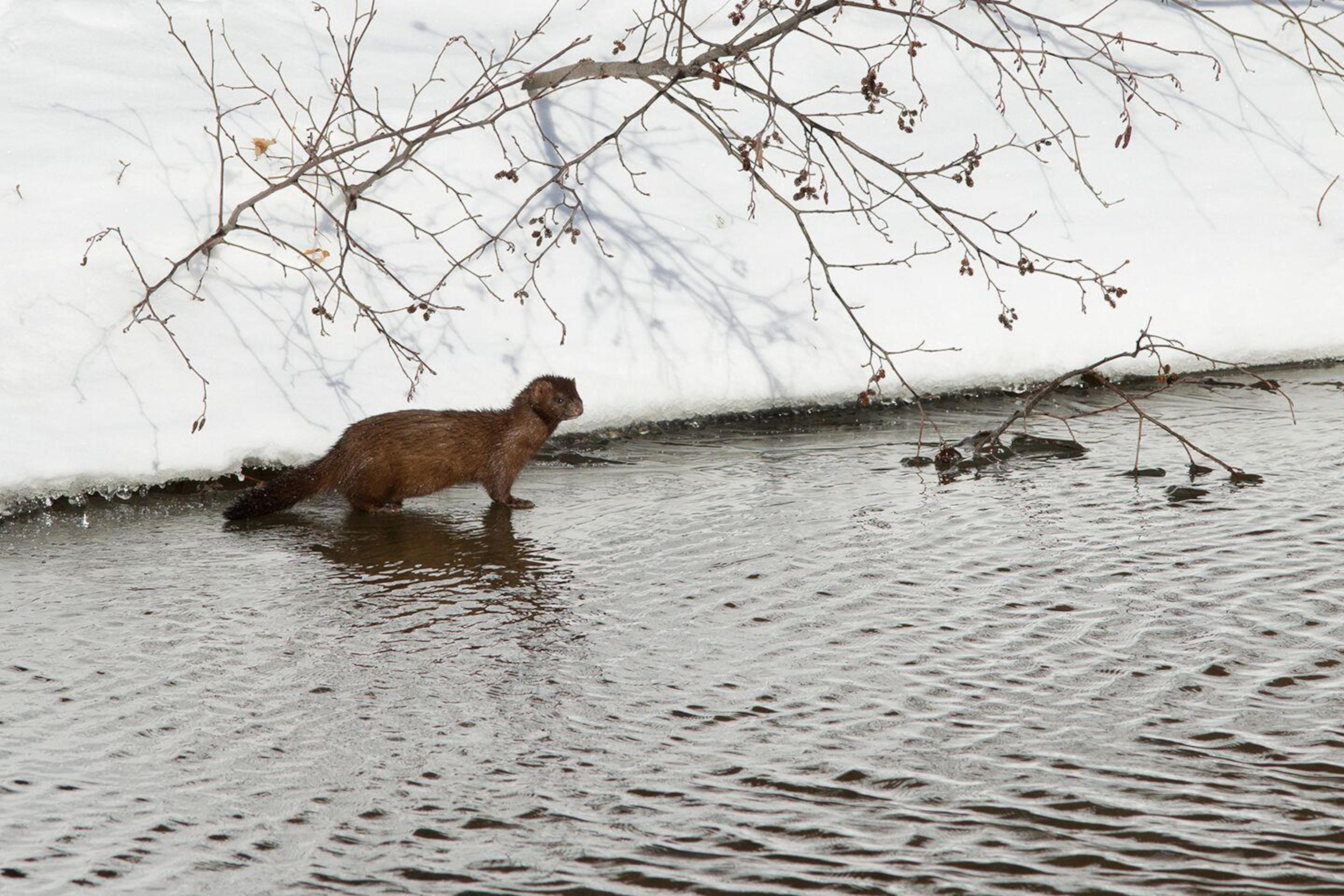 Le vison d'Amérique aux abords d'un lac partiellement gelé.