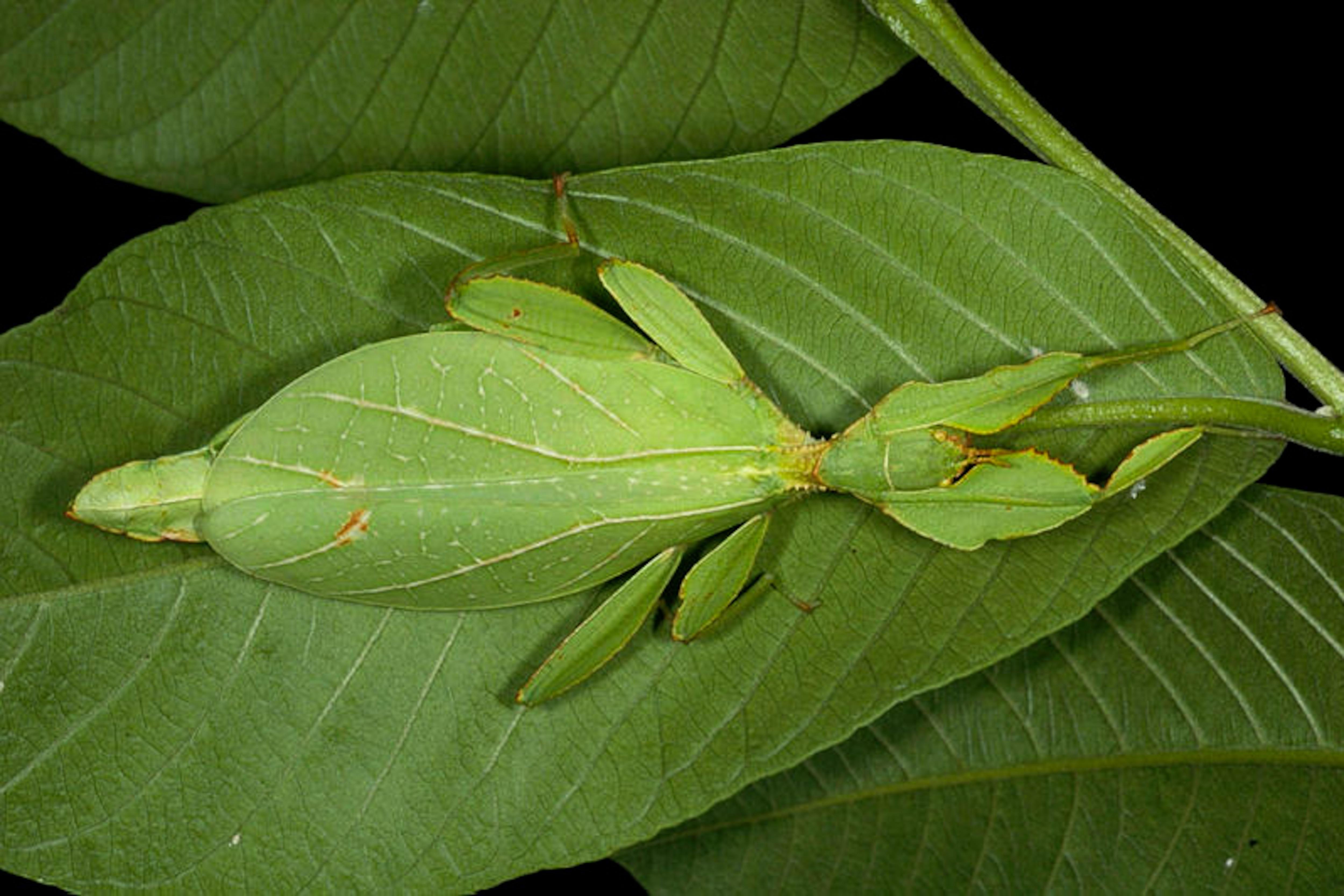 Phyllium philippinicum sur une feuille