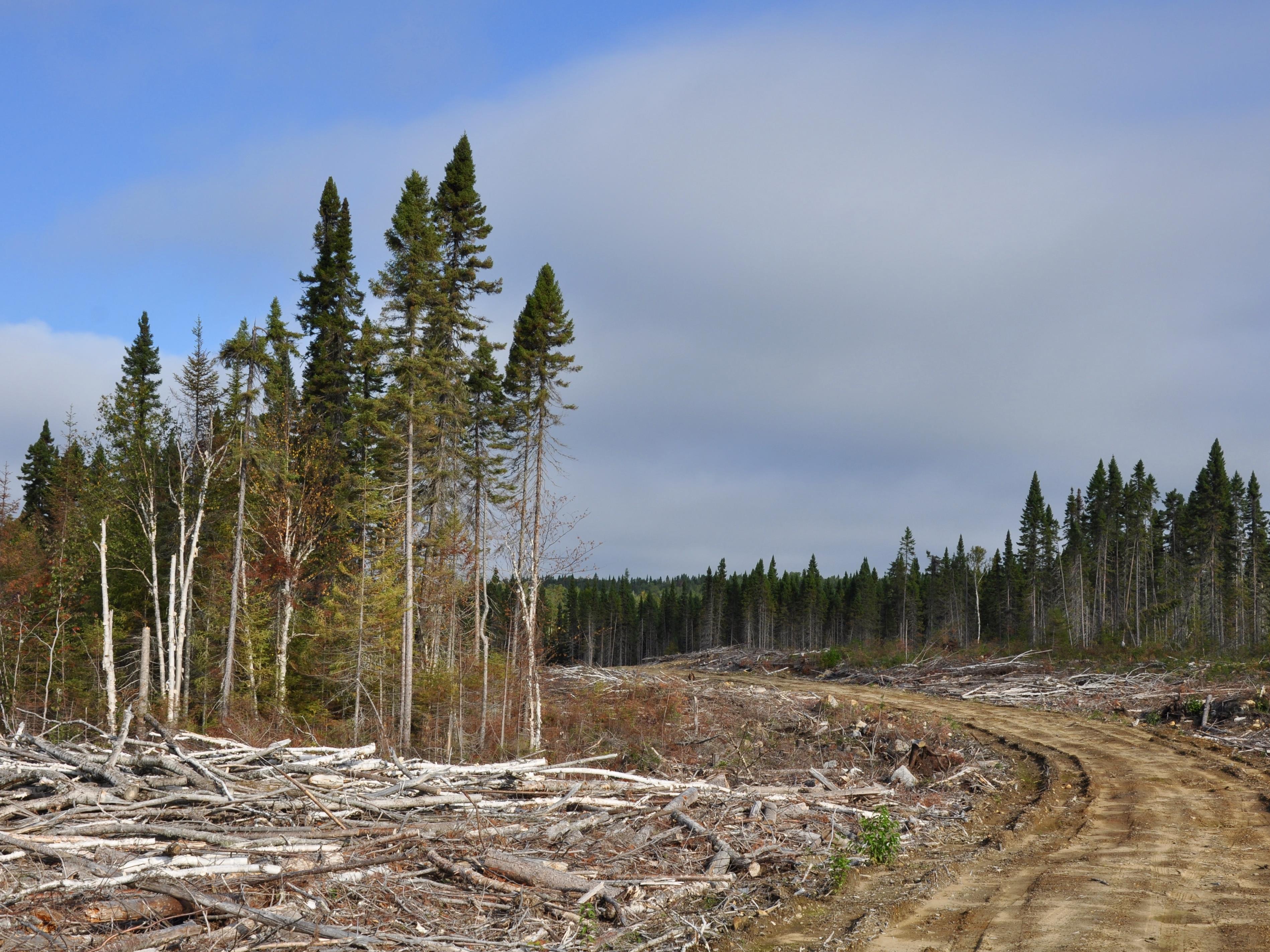 Billes de bois le long du chemin forestier de la pourvoirie Waban-aki.