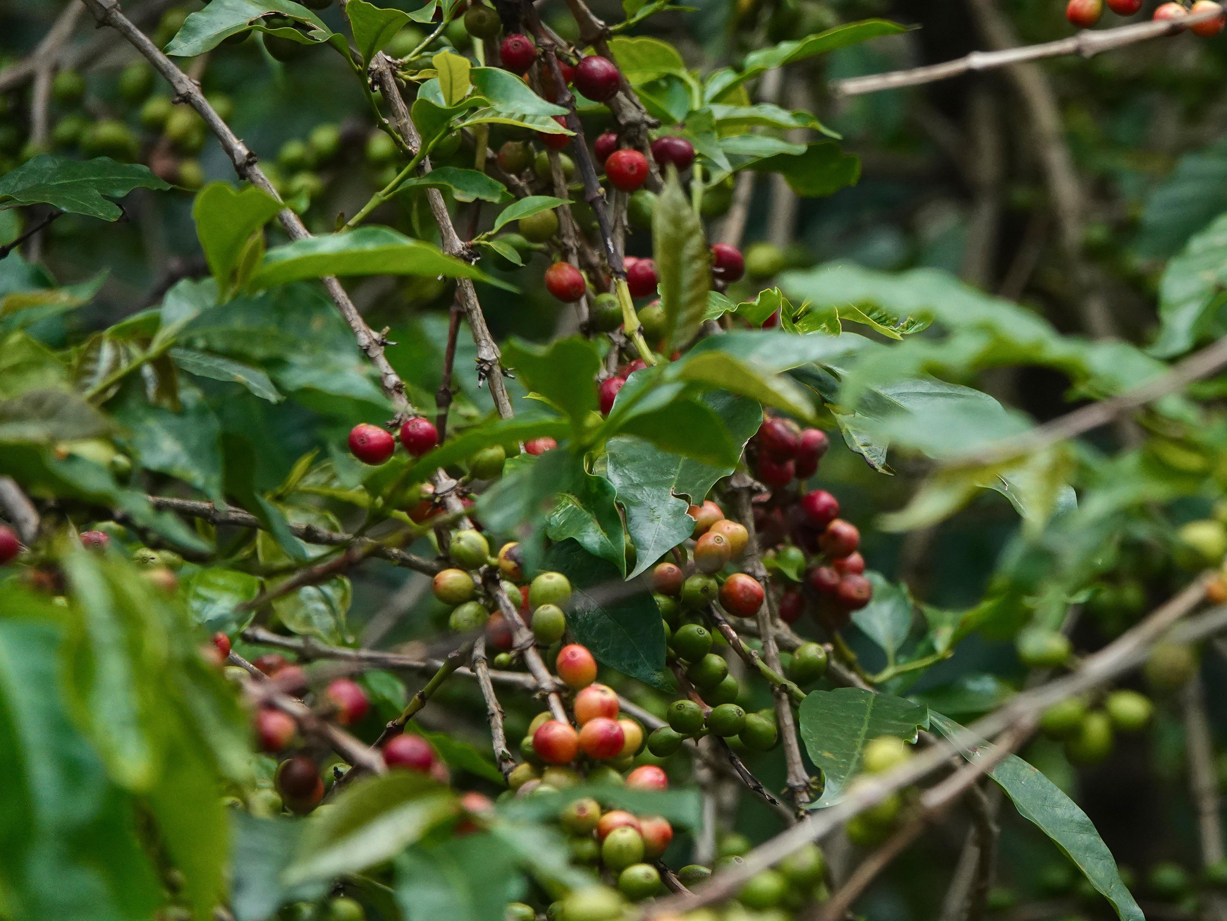 Des petits fruits rouges et verts.
