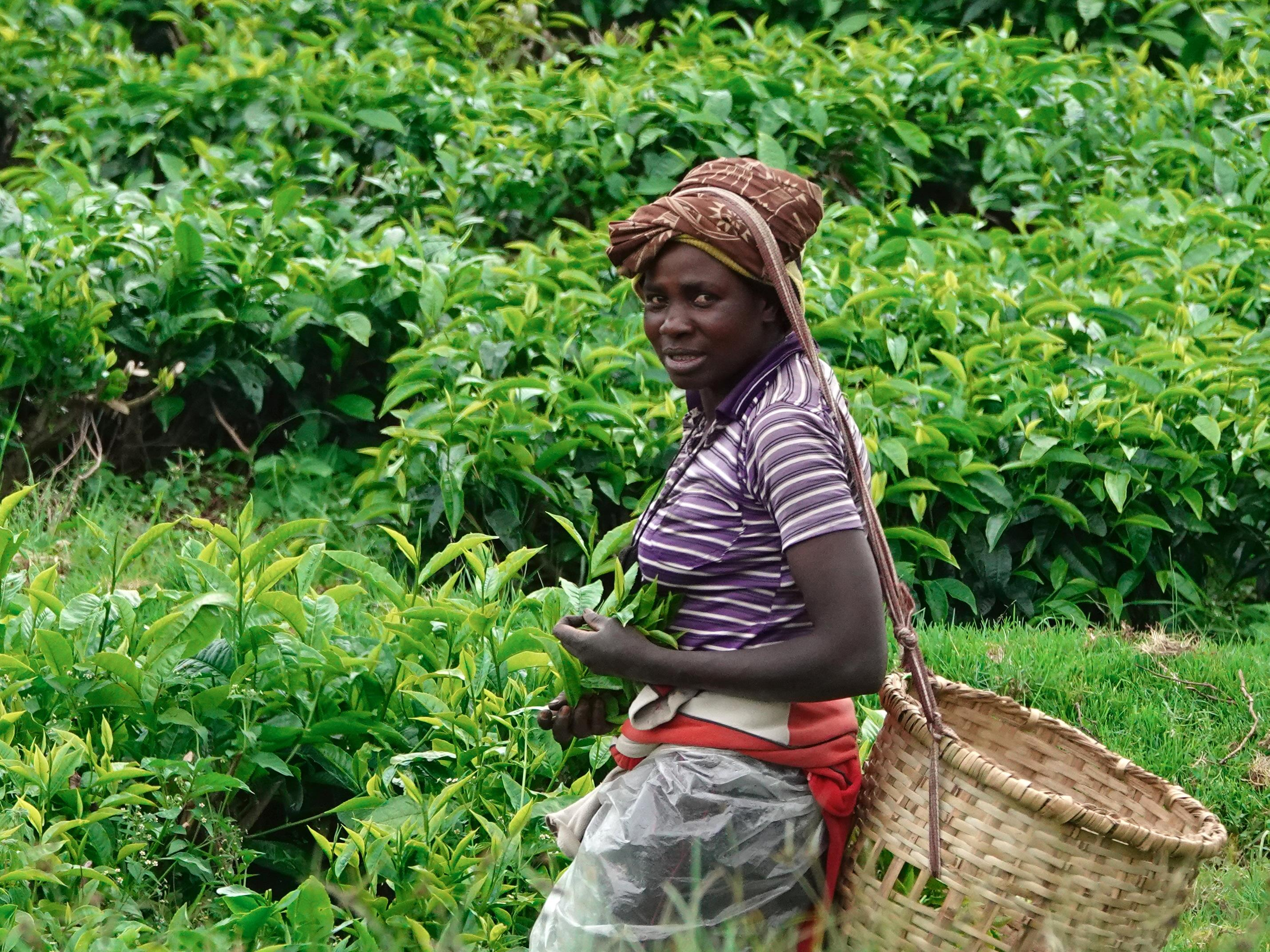Une jeune femme portant un panier sur son dos cueille des feuilles de thé.