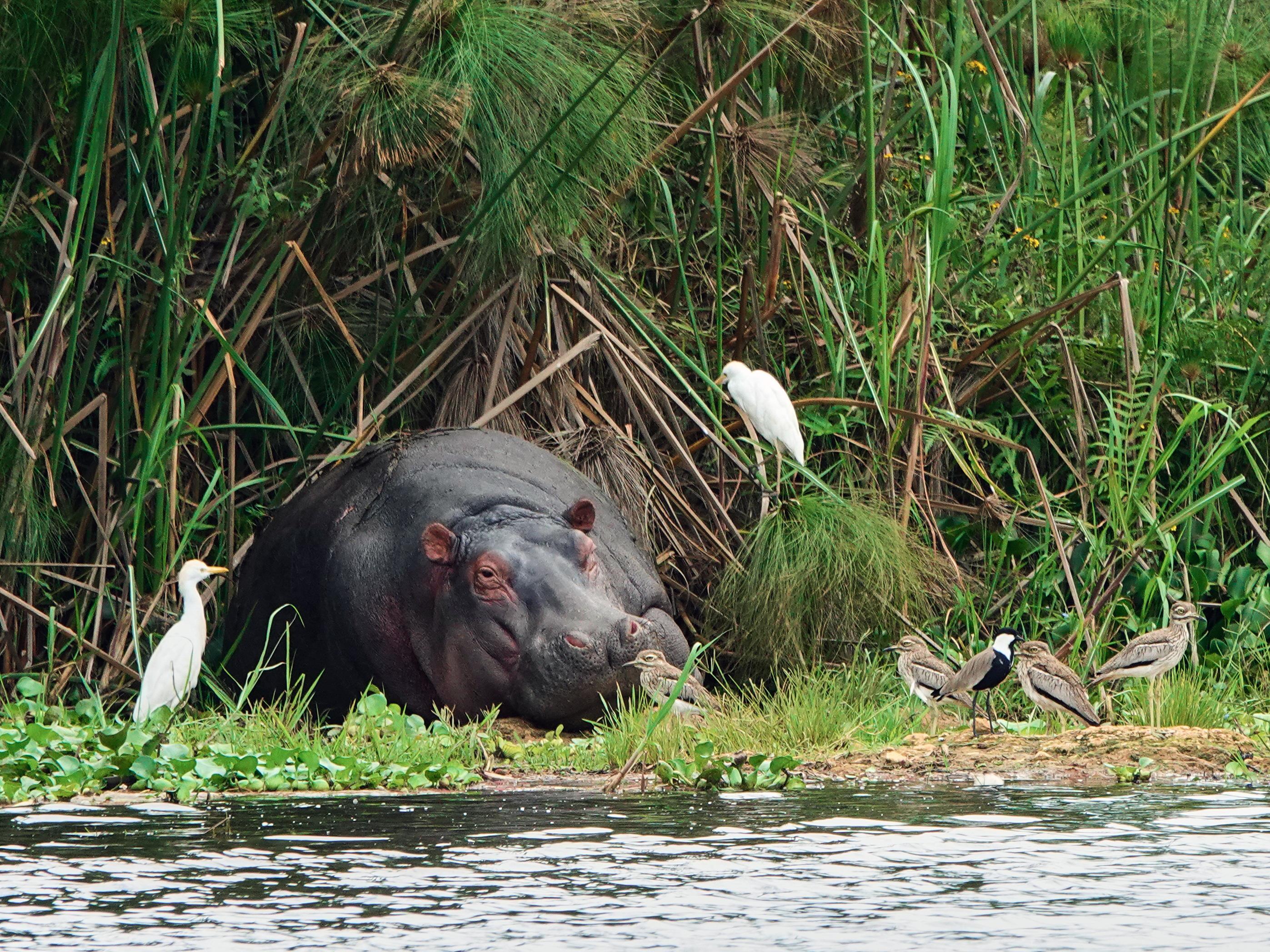 Un hippopotame entouré de plusieurs oiseaux, tout près d'un point d'eau.