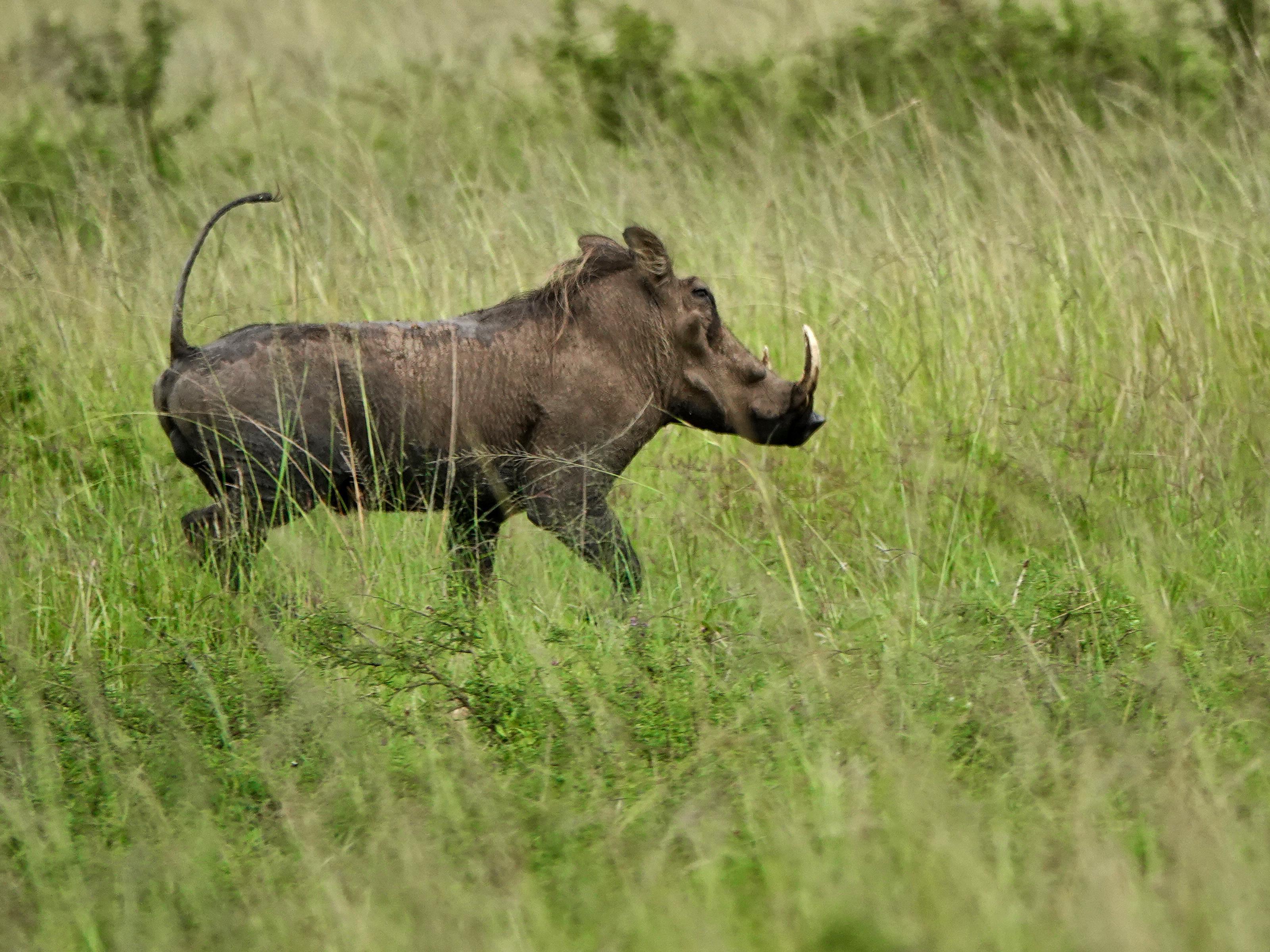 Un animal qui ressemble à un sanglier court dans la savane.