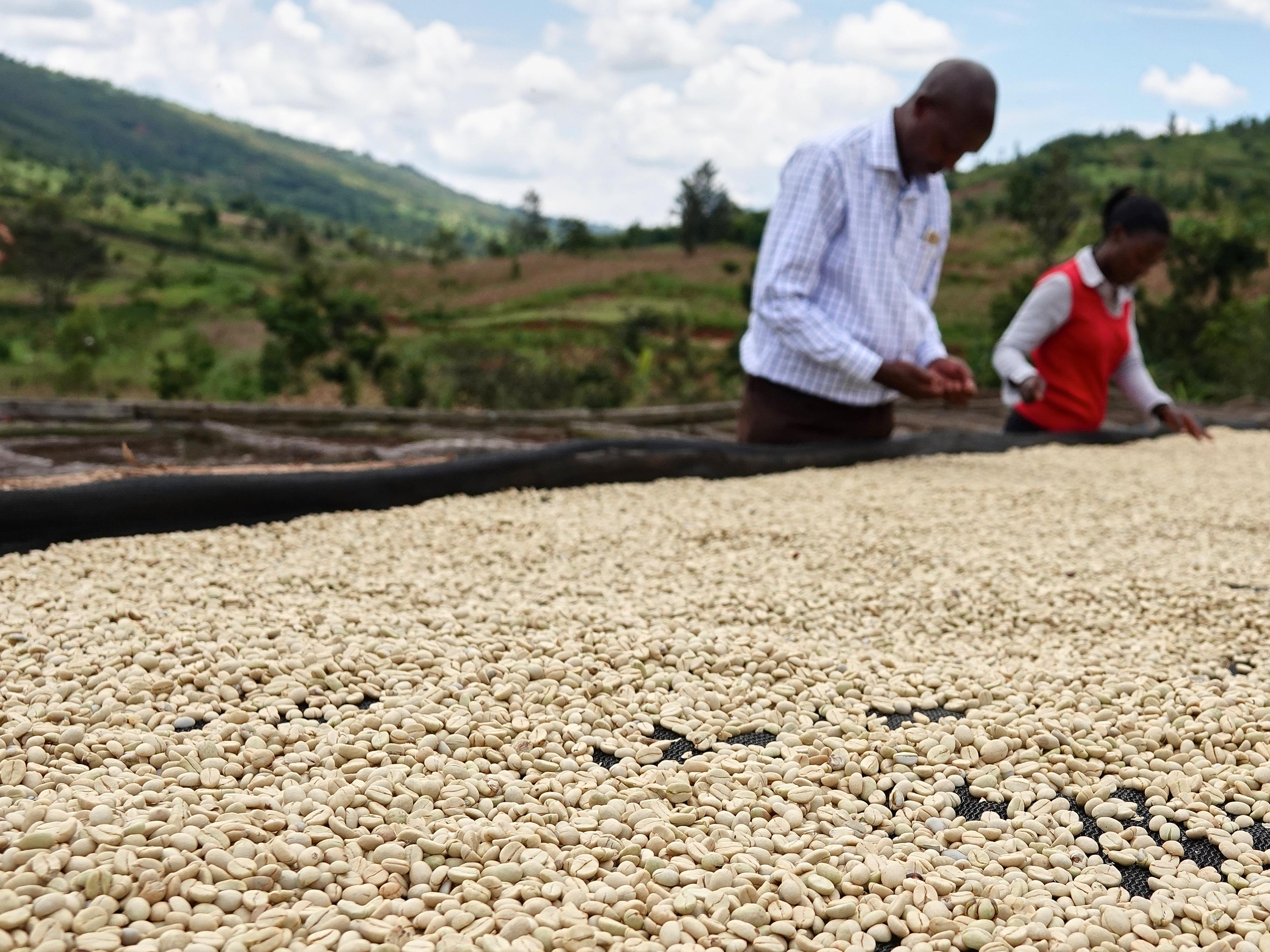 Deux personnes font le tri des grains de café.