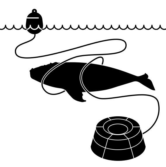 Une baleine empêtré dans un câble de pêche.