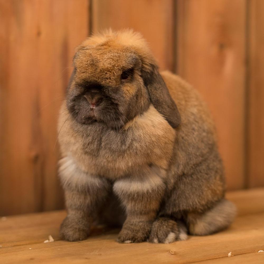 Un lapin brun dans un décor constitué de planches de bois.