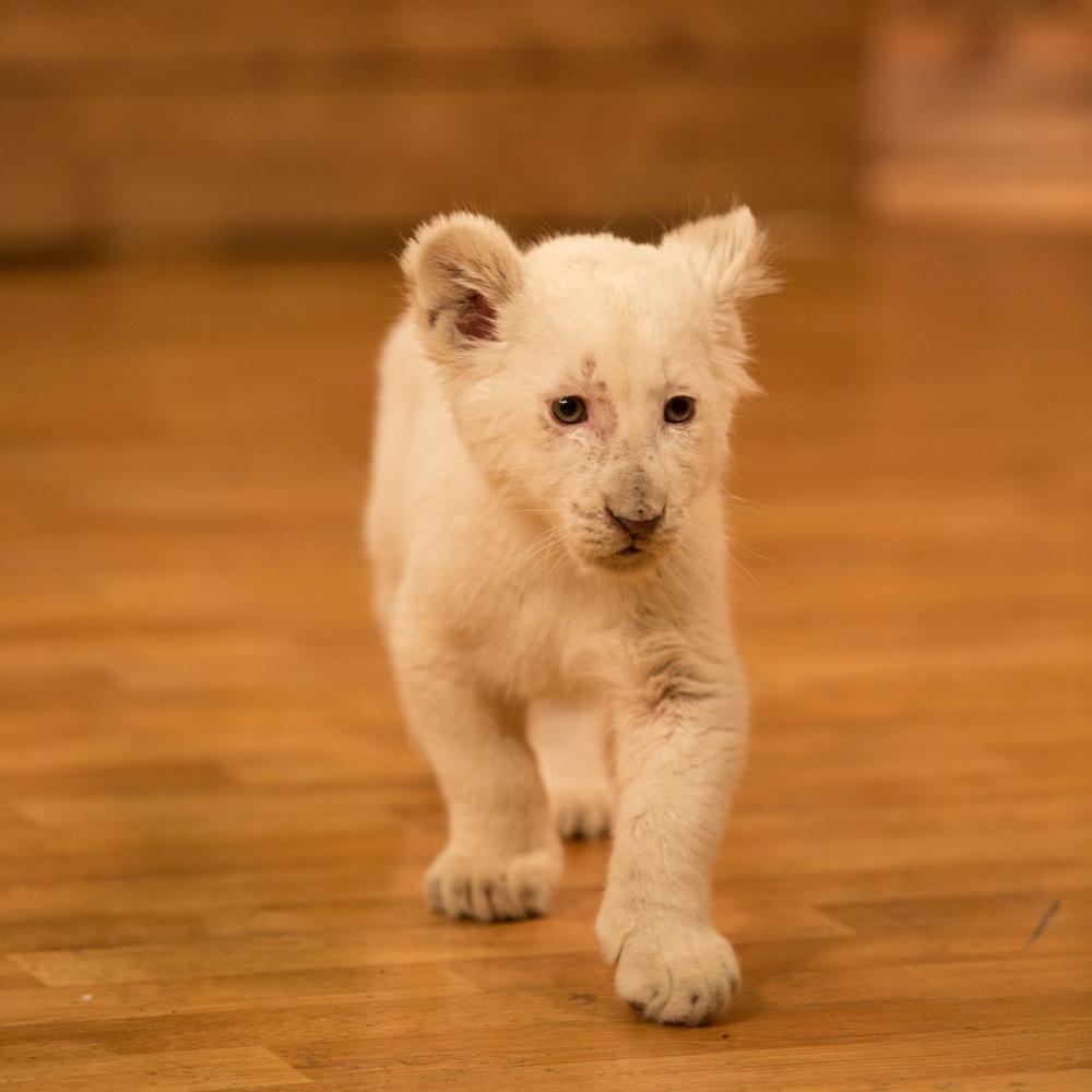 Un bébé lion marche sur un plancher de bois.