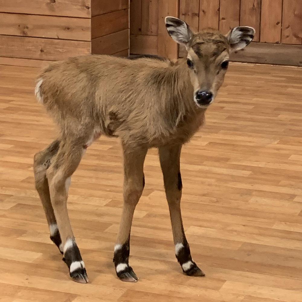 Une petite antilope dans un décor de bois.