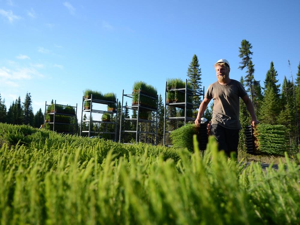 Planteur d'arbres qui s'avance, avec des petits plants de conifères entre les mains.