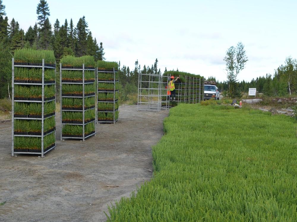 Petits plants de conifères empilés sur des étagères avant d'être plantés.