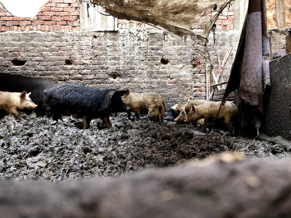 Des porcs s'entassent dans un enclos.