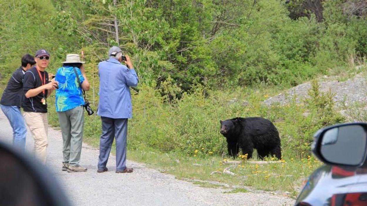 Des touristes photographient un ours noir dans le parc national Banff.