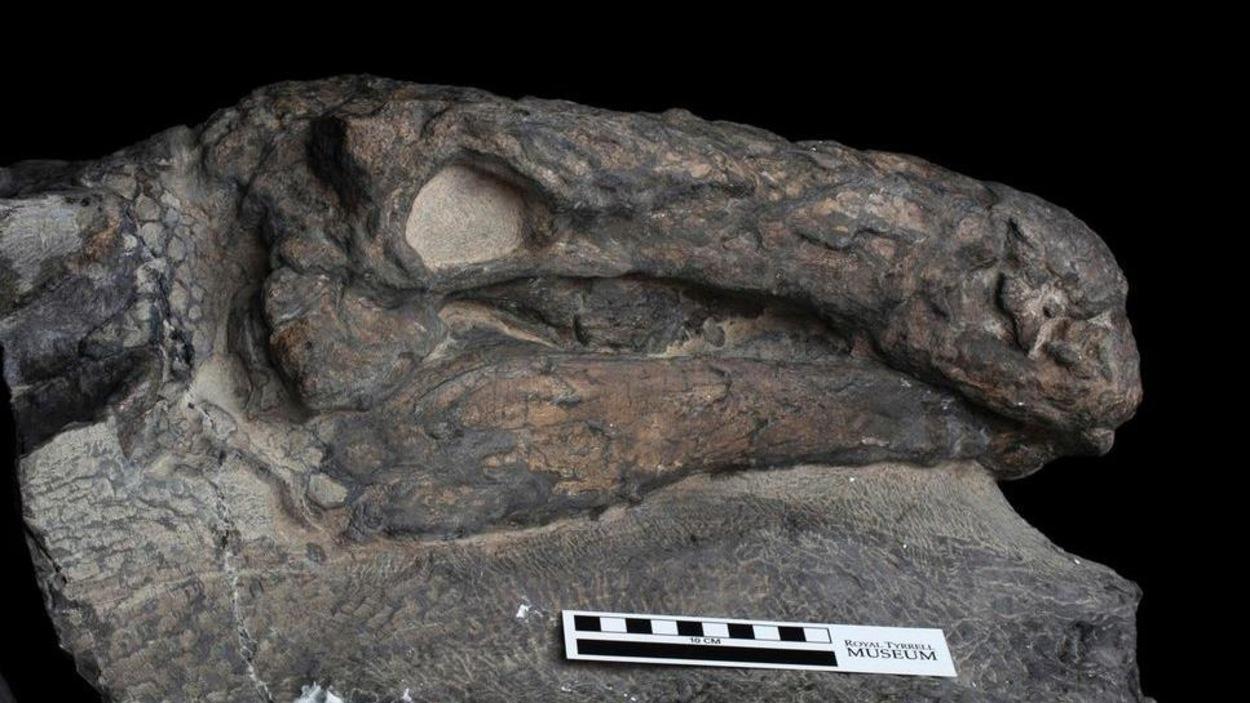 La tête du spécimen de Borealopelta markmitchelli découvert en Alberta.