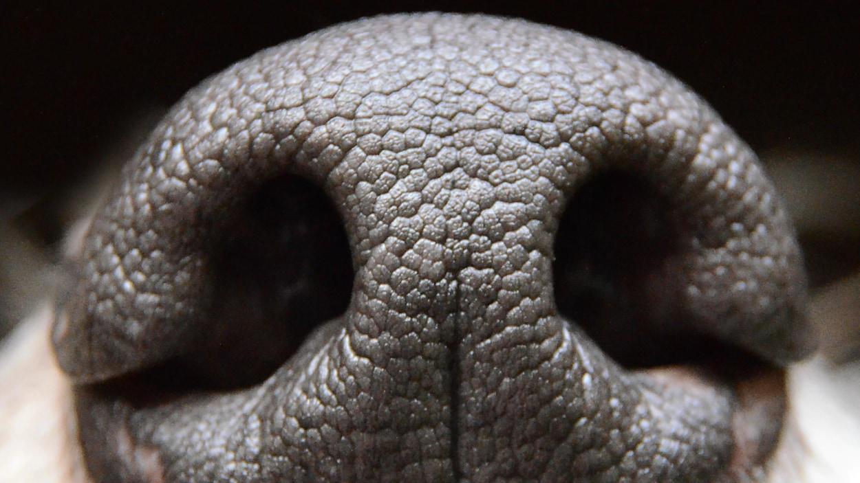 La truffe d'un chien, en gros plan