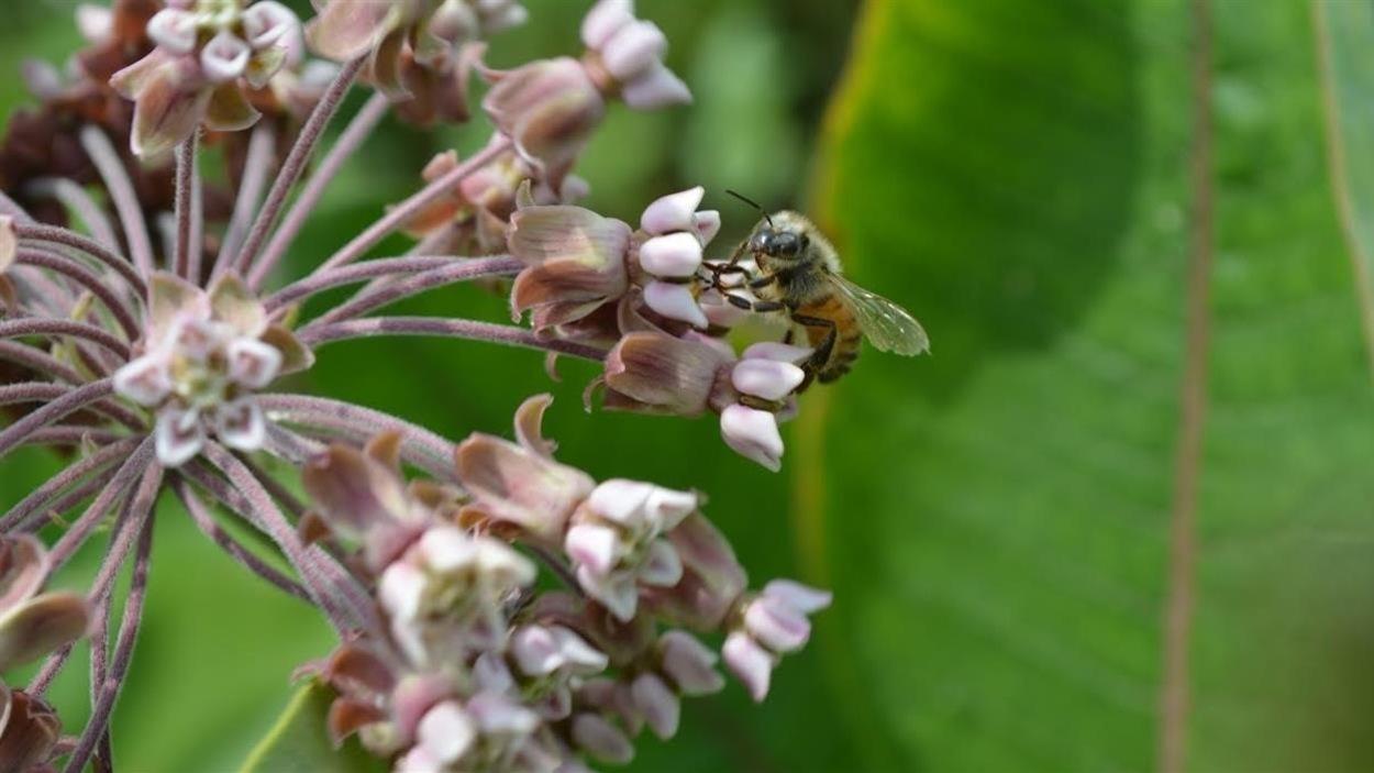 Une fleur d'asclépiade sur laquelle un insecte pollinisateur s'est posé
