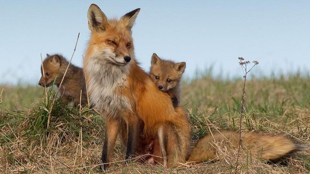 Des renardeaux sont derrière un renard femelle dans un champ.