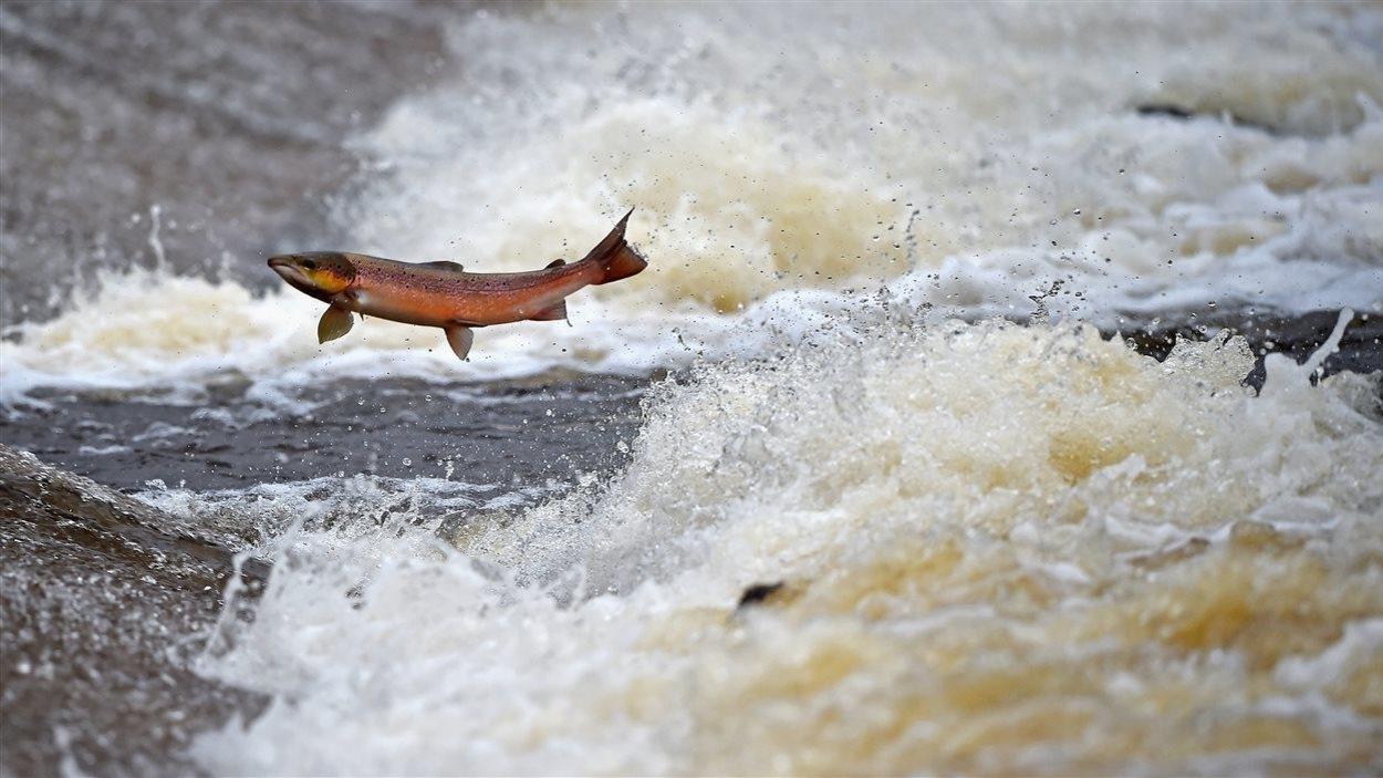 Un saumon atlantique remonte des rapides