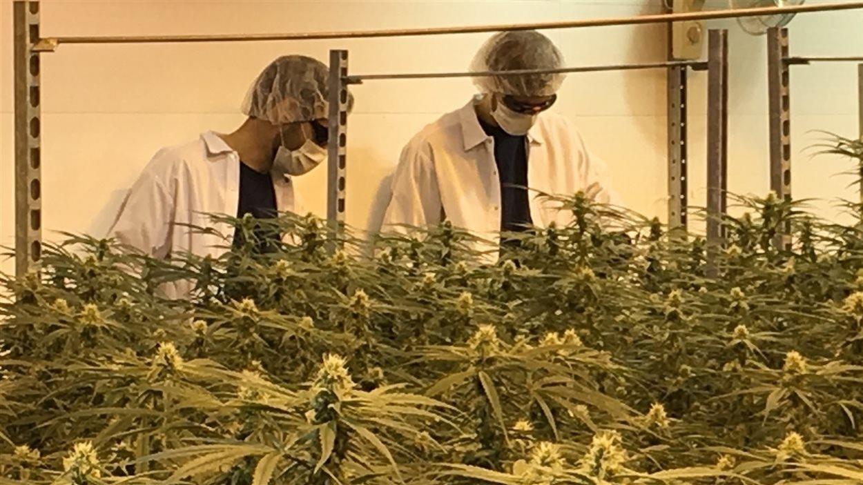Des employés de Canopy Growth, en Ontario