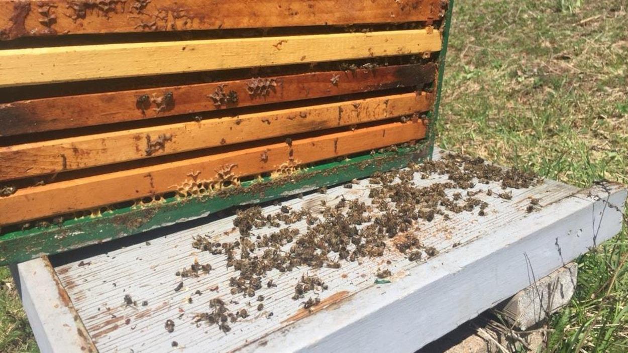 Des abeilles mortes dans une ruche ouverte