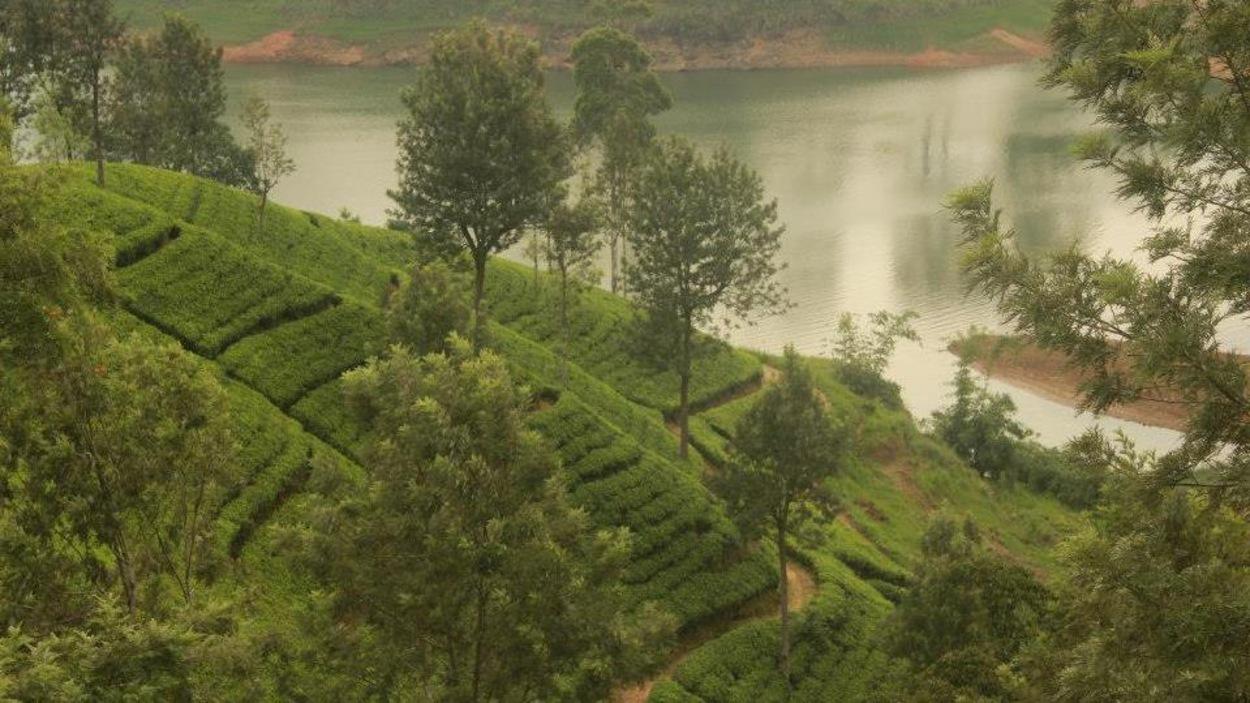 Des plantations de thé au Sri Lanka