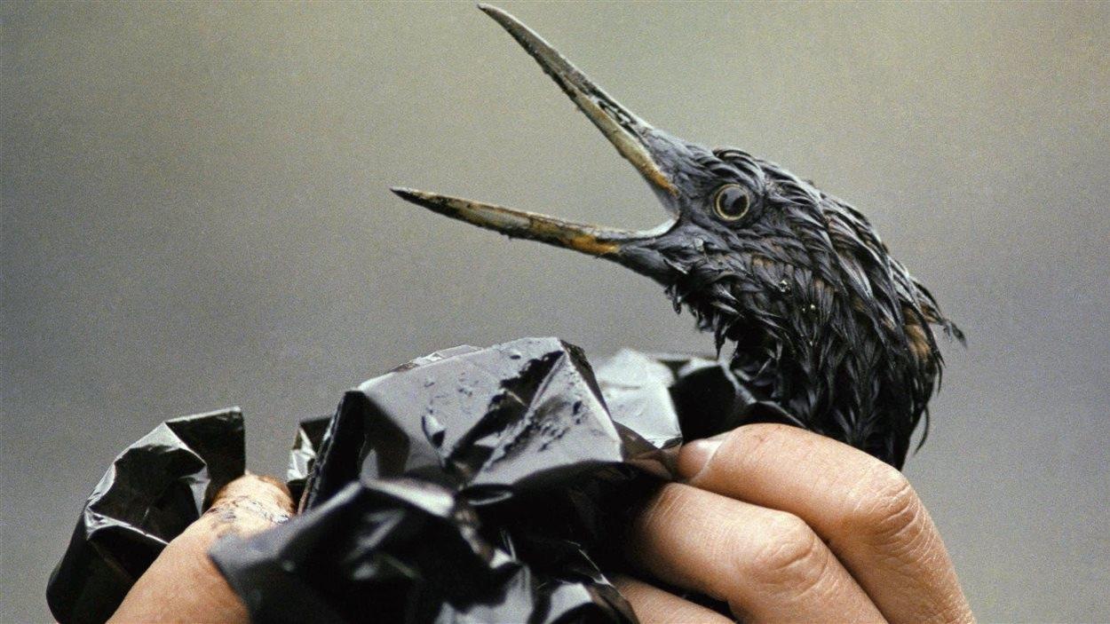 Un oiseau couvert de pétrole après la catastrophe de l'Exxon Valdez, en 1989.