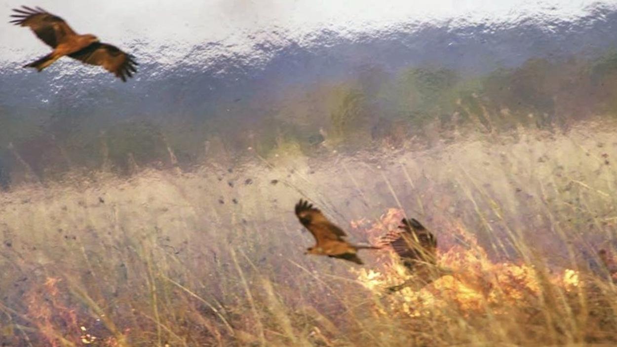 Oiseaux au coeur d'un feu de brousse qui trainent des tisons.