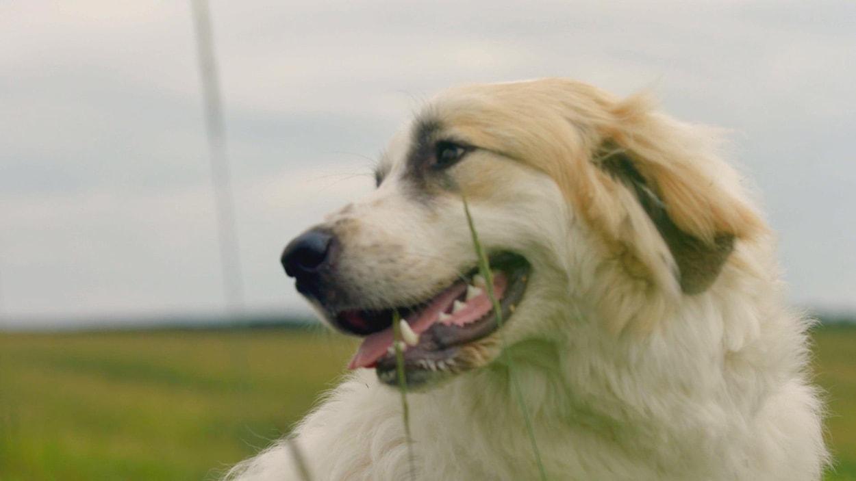 Delta, une chienne de montagne des Pyrénées blanche