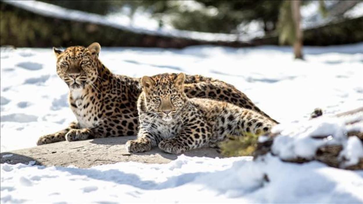 Deux léopards couchés dans la neige