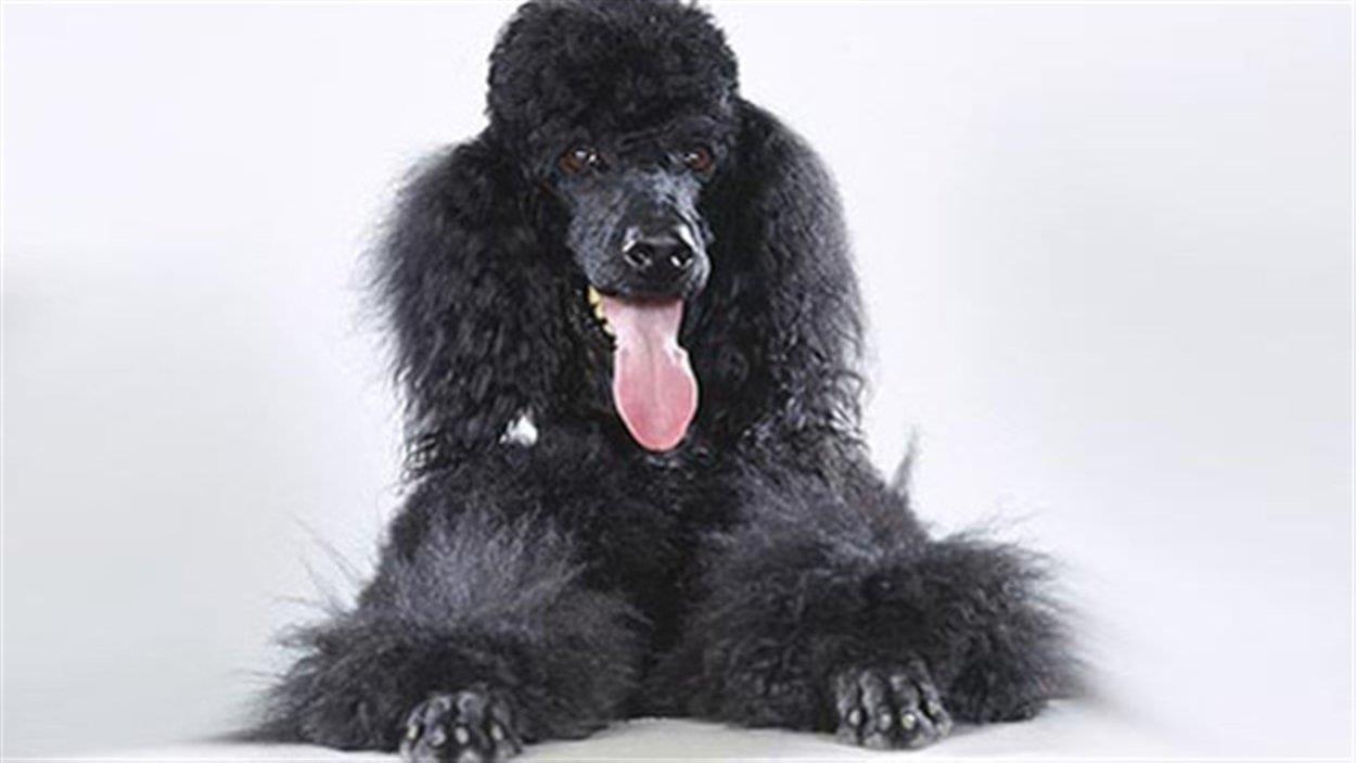 Le chien noir la langue pendue.