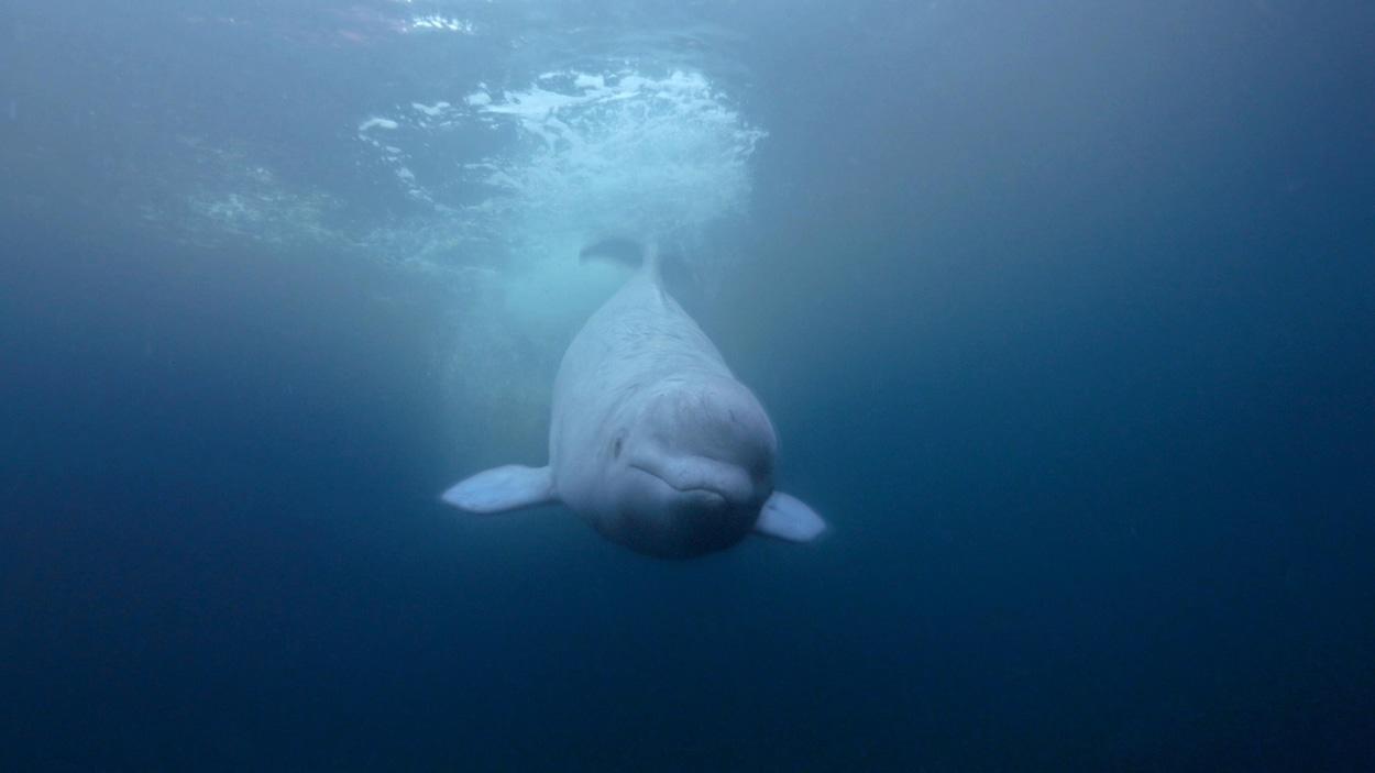 Un béluga sous l'eau.