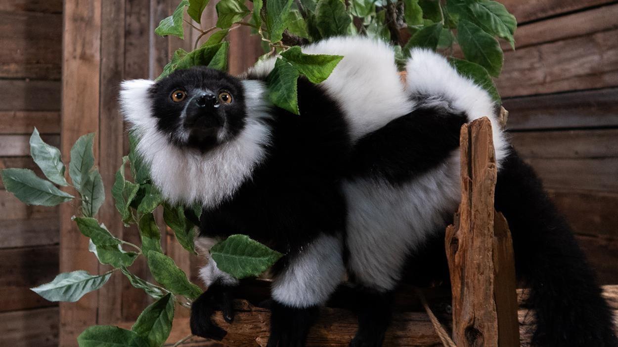 Un lémur vari noir et blanc sur une branche.