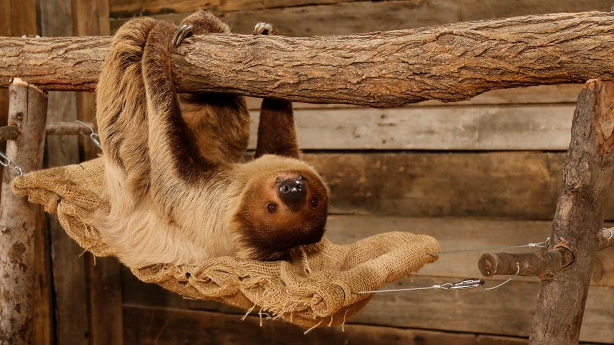 Un paresseux, couché sur un hamac, les pattes accrochées à une branche d'arbre.