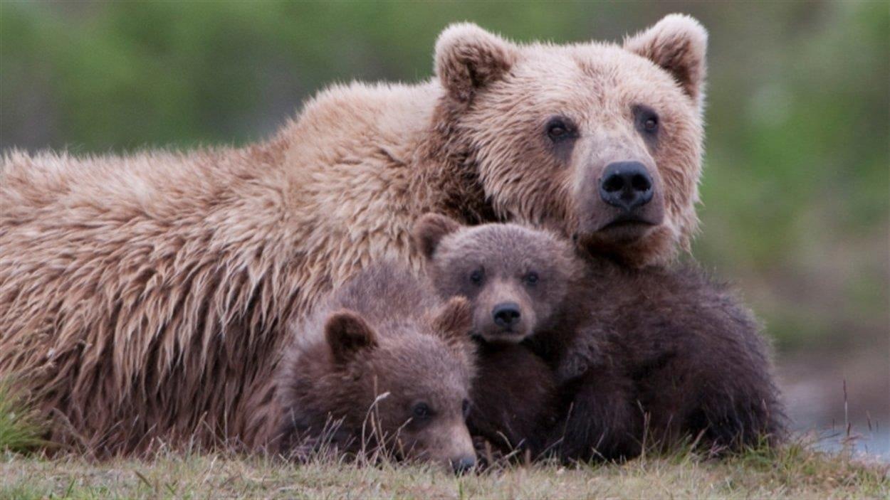 Deux petits oursons se blottissent sur leur maman ourse.