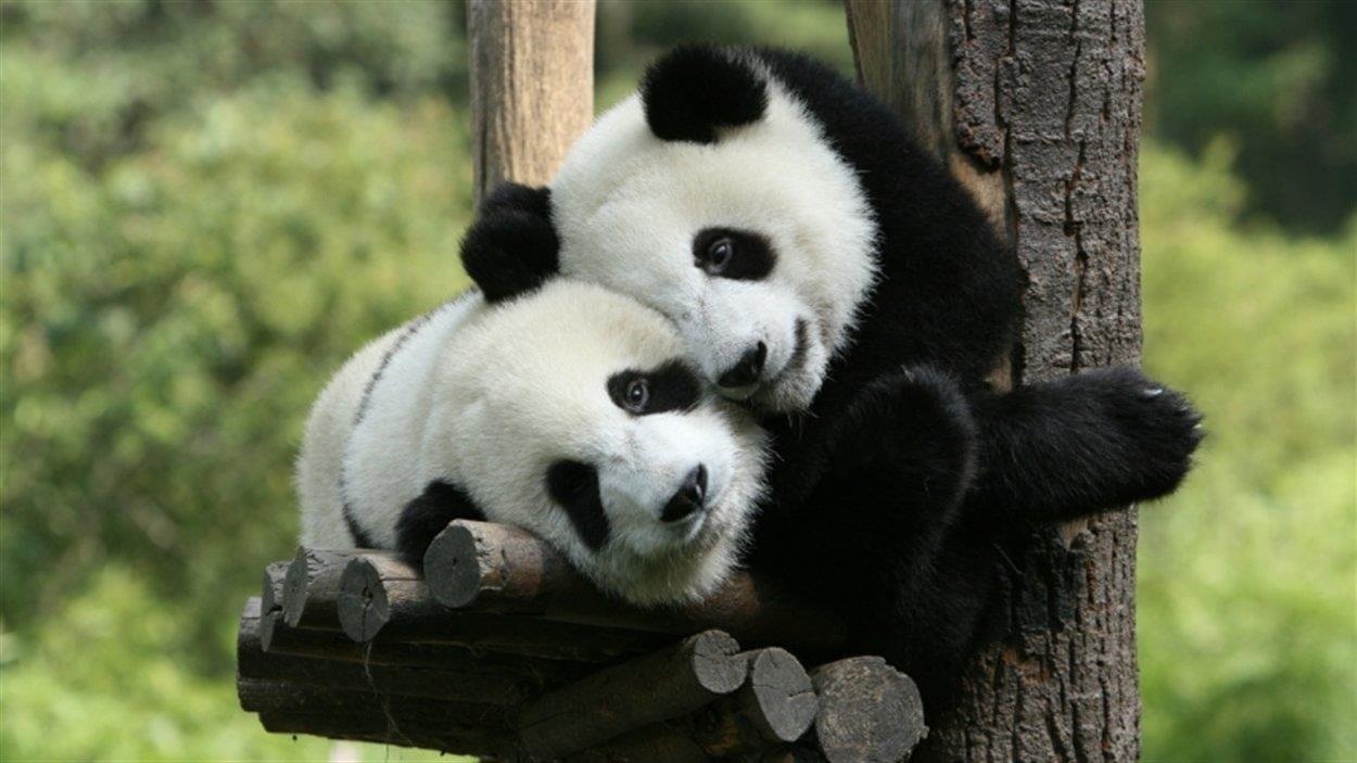 Deux pandas sont couchés sur un reposoir dans un arbre.