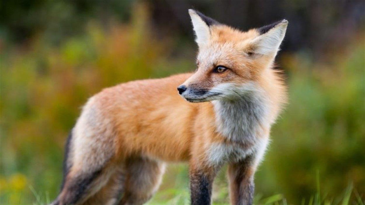 Dans un pré, un renard regarde derrière lui attentif.