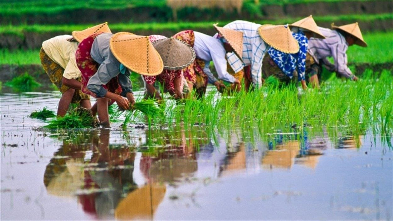Des cultivateurs de riz sont penchés dans une rizière et s'affairent à la récolte.
