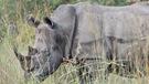 Sauver le rhinocéros blanc grâce à l'application Tinder?