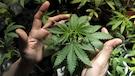 Légalisation du cannabis: des corps policiers inquiets
