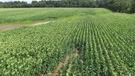 Cinq de ces OGM sont cultivés au Canada